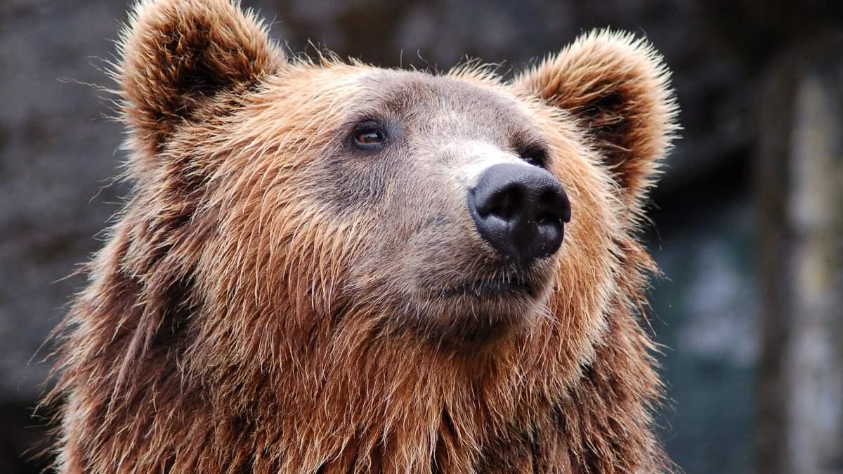 В роздягальню російської команди привели ведмедя: відео реакції футболістів