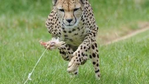 Гепард установил новый мировой рекорд в беге (Видео)