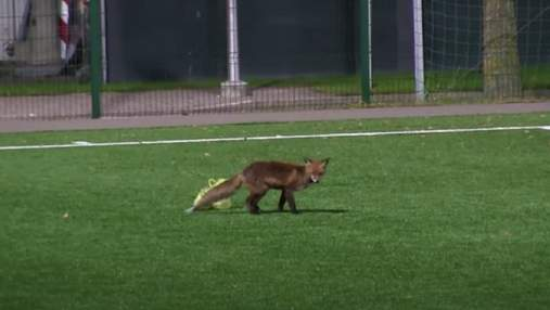 Дванадцятий гравець на полі: лисиця зірвала футбольний матч в Естонії – курйозне відео